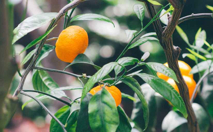 What to Look for when Buying a Fruit Tree