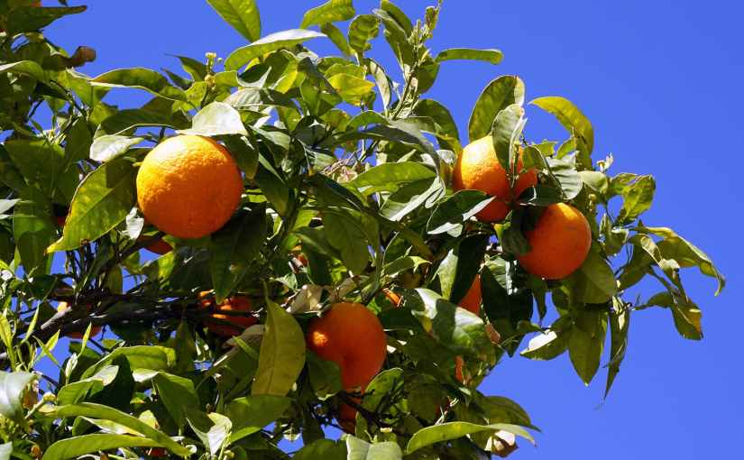 Picking the Right Orange Tree